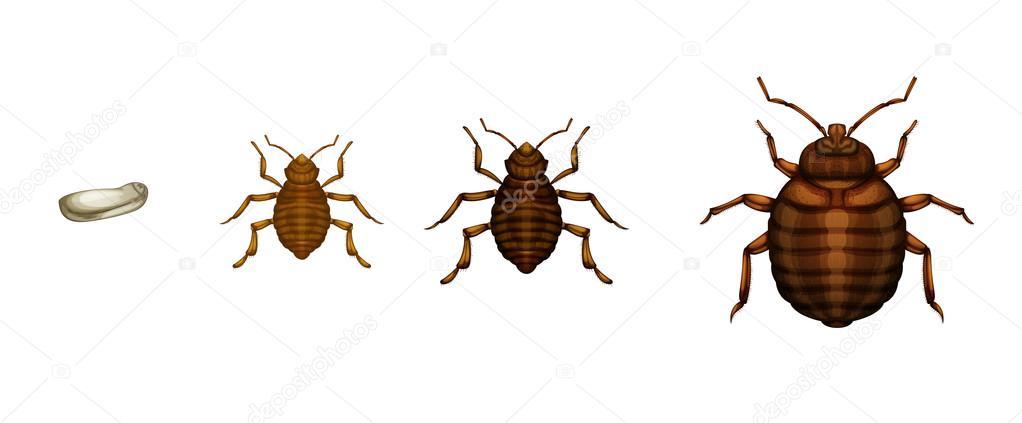 Bed bug life cycle - Cimex lectularius \u2014 Stock Vector