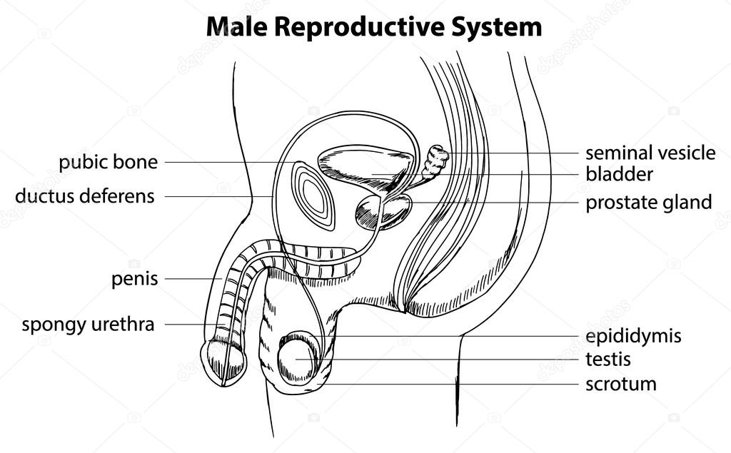 male reproductive diagram answers