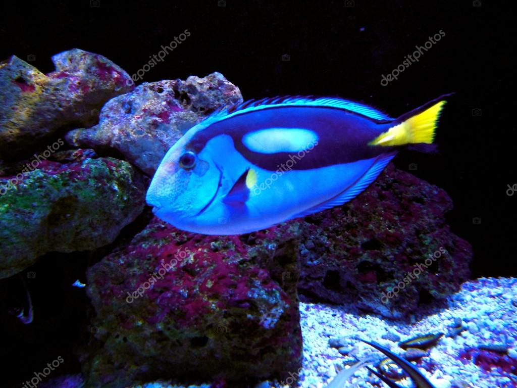 Dory Vis Pacific Regal Blue Tang Vis Stockfoto Valbunny 25014363