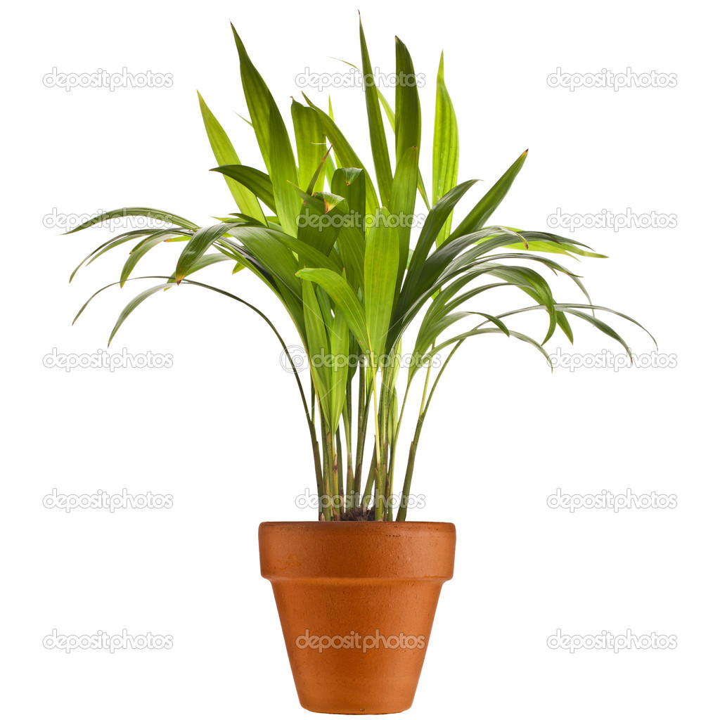 Chrysalidocarpus Lutescens Palm Tree In Flowerpot Isolated