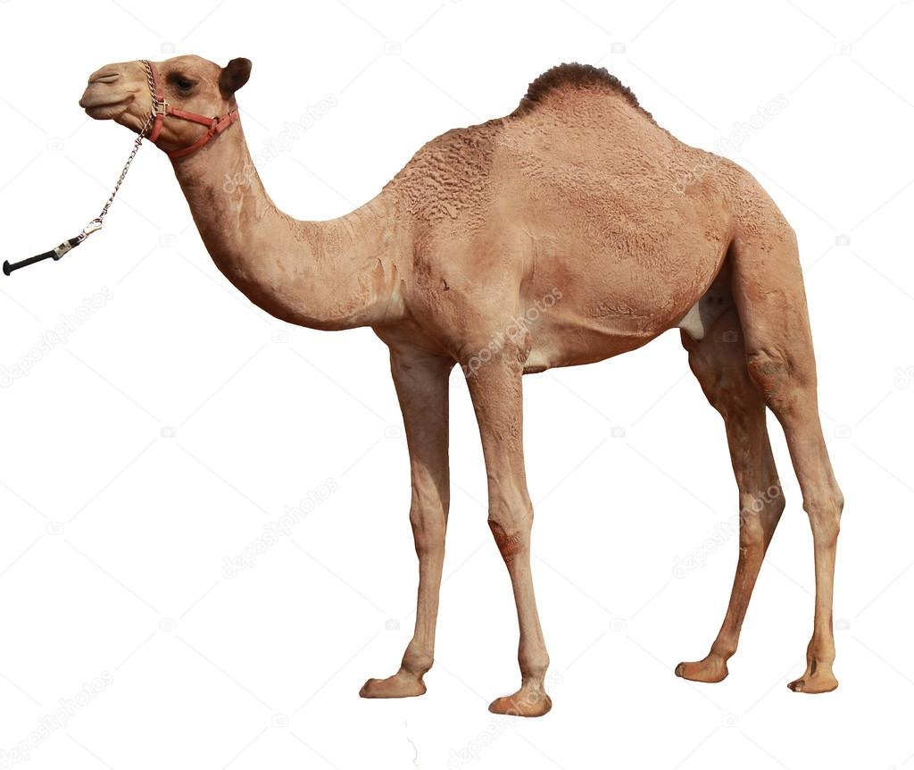 Cartoon Farm 3d Live Wallpaper Camel On White Background Stock Photo 169 Desertrose5