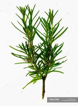 Fantastic Rosemary To Dry Rosemary Weight Sprig Focused 153616754 Sprig Fresh Rosemary Sprig
