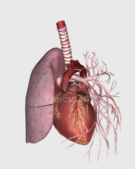 Pulmonary circulation of human heart and lung \u2014 white background
