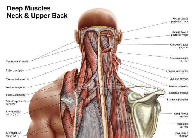 Human anatomy of deep muscles in the neck and upper back \u2014 white