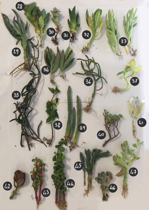 succulent identification chart - Heartimpulsar