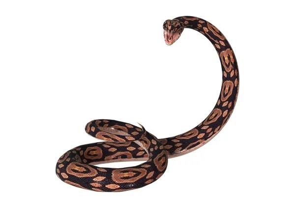 Jungle Carpet Python Morelia Spilota Cheynei Black And
