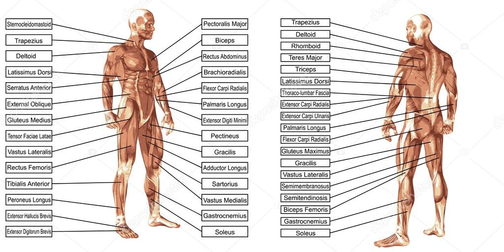 Pin What Are Muscles Images To Pinterest