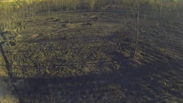 Entering pine and poplar tree forest burnt area, aerial view \u2014 Stock