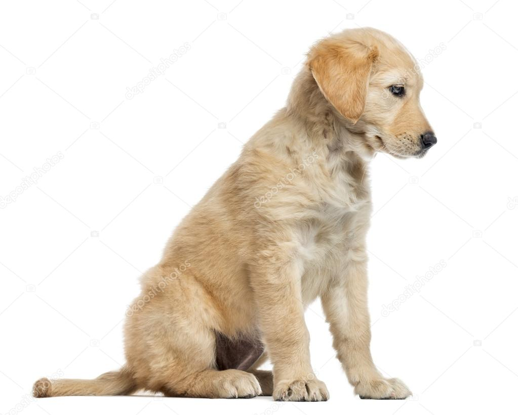 Golden Retriever 2 Meses Cross Breed Labrador Puppy 2 Months Old Isolated On White