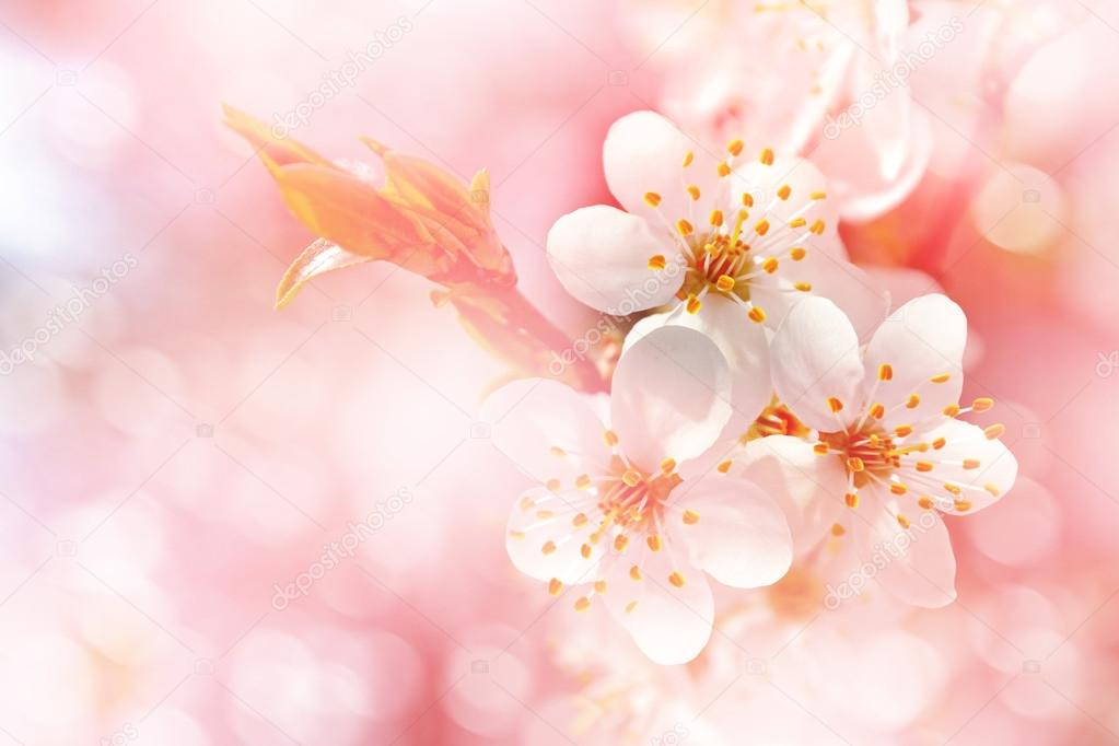 Paisaje de primavera Rama de flores de cerezo \u2014 Foto de stock