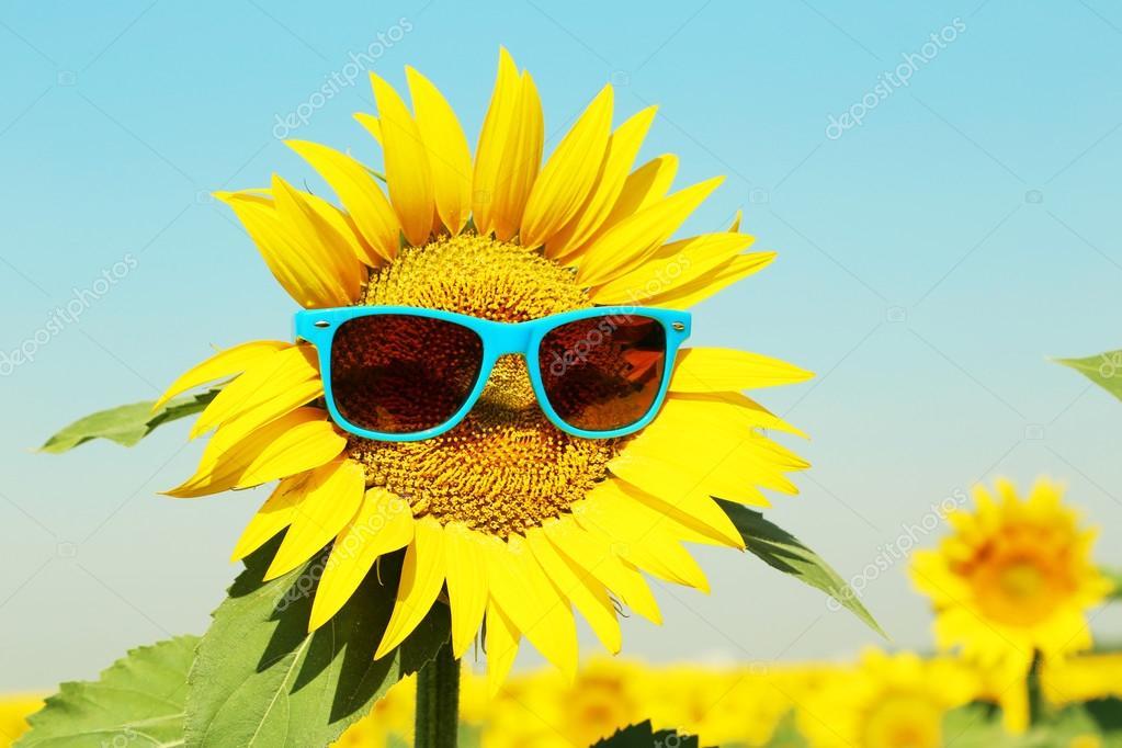 Fall Sunflower Wallpaper Jasny Słonecznik Z Okulary Zdjęcie Stockowe 169 5seconds