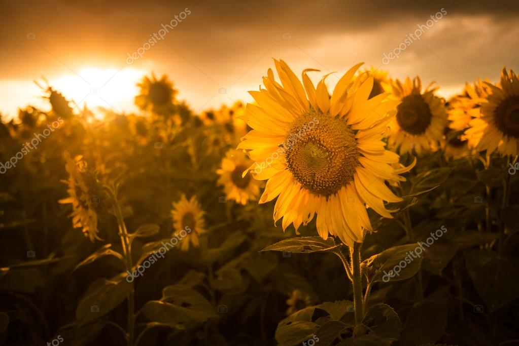 Sunflower Wallpaper With Quote Campo De Flor Del Atardecer De Girasoles Es Hermoso