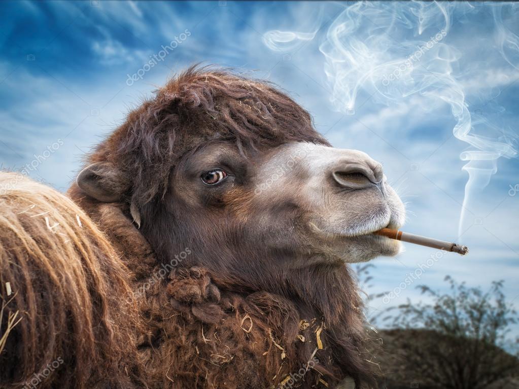 Cigaret With Girl Wallpaper Download Camel Smoking Cigarette Stock Photo 169 Photoholic 84607762