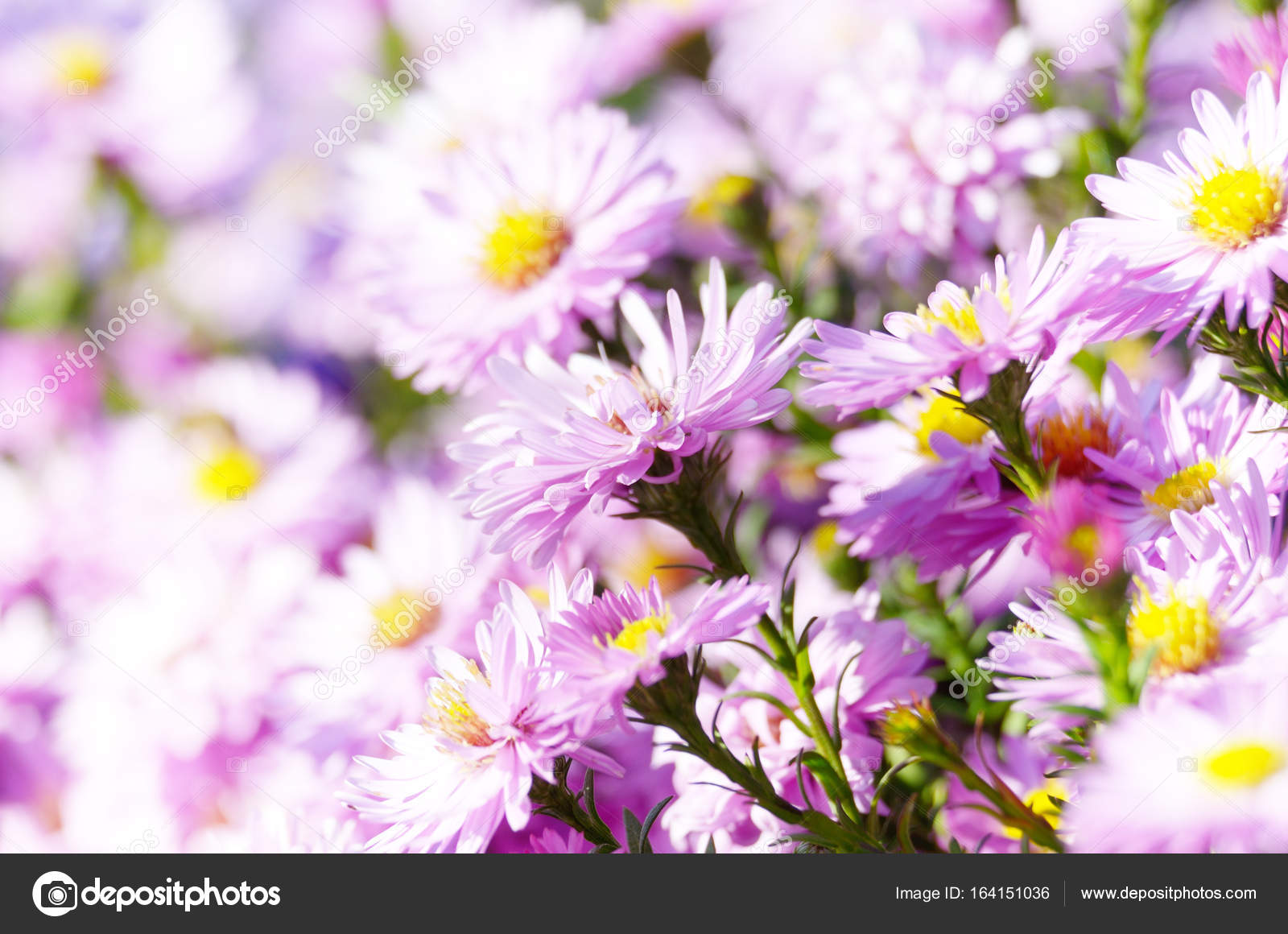 Herbstblumen Bilder Kostenlos Violet Asters Flowers Stock Photo E Mikh 164151036