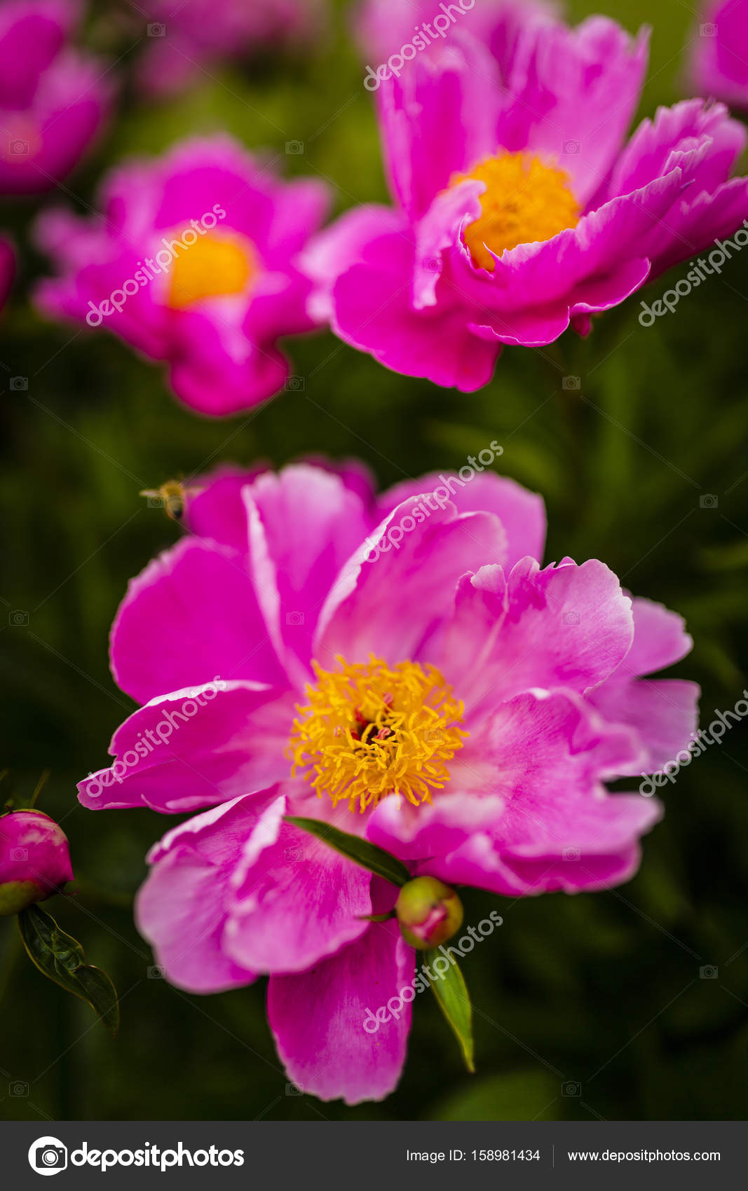 Pianese Flowers Big Blooming Pink Peony Flowers In Spring Garden Stock Photo