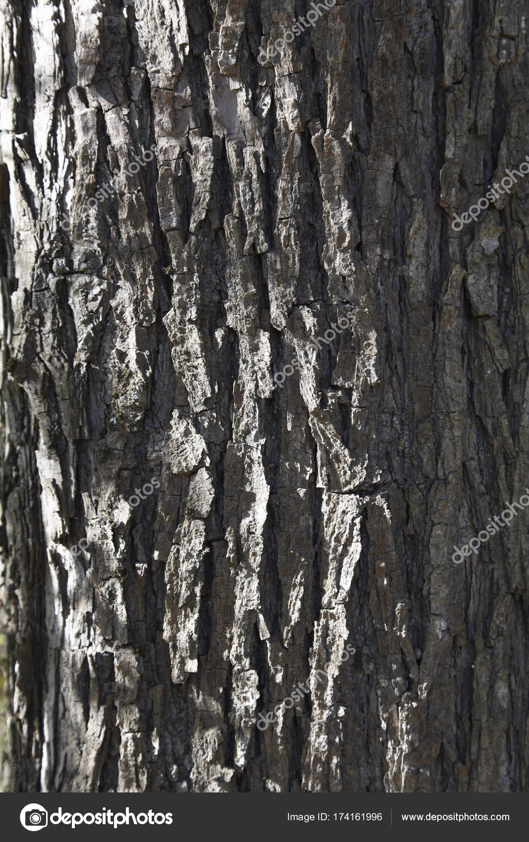 Alba Photographie Bark White Willow Salix Alba Photographie Imagebrokermicrostock