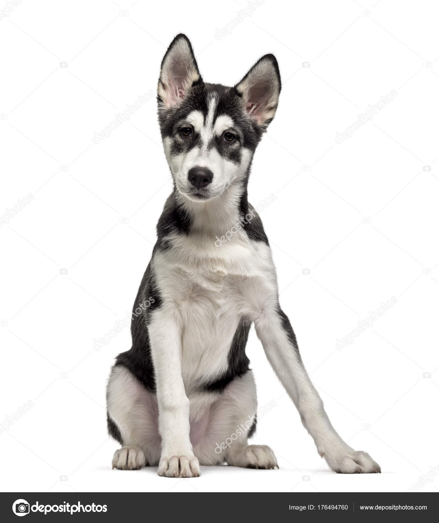 Husky 2 Meses Siberian Husky Puppy 5 Months Old Isolated On White Stock