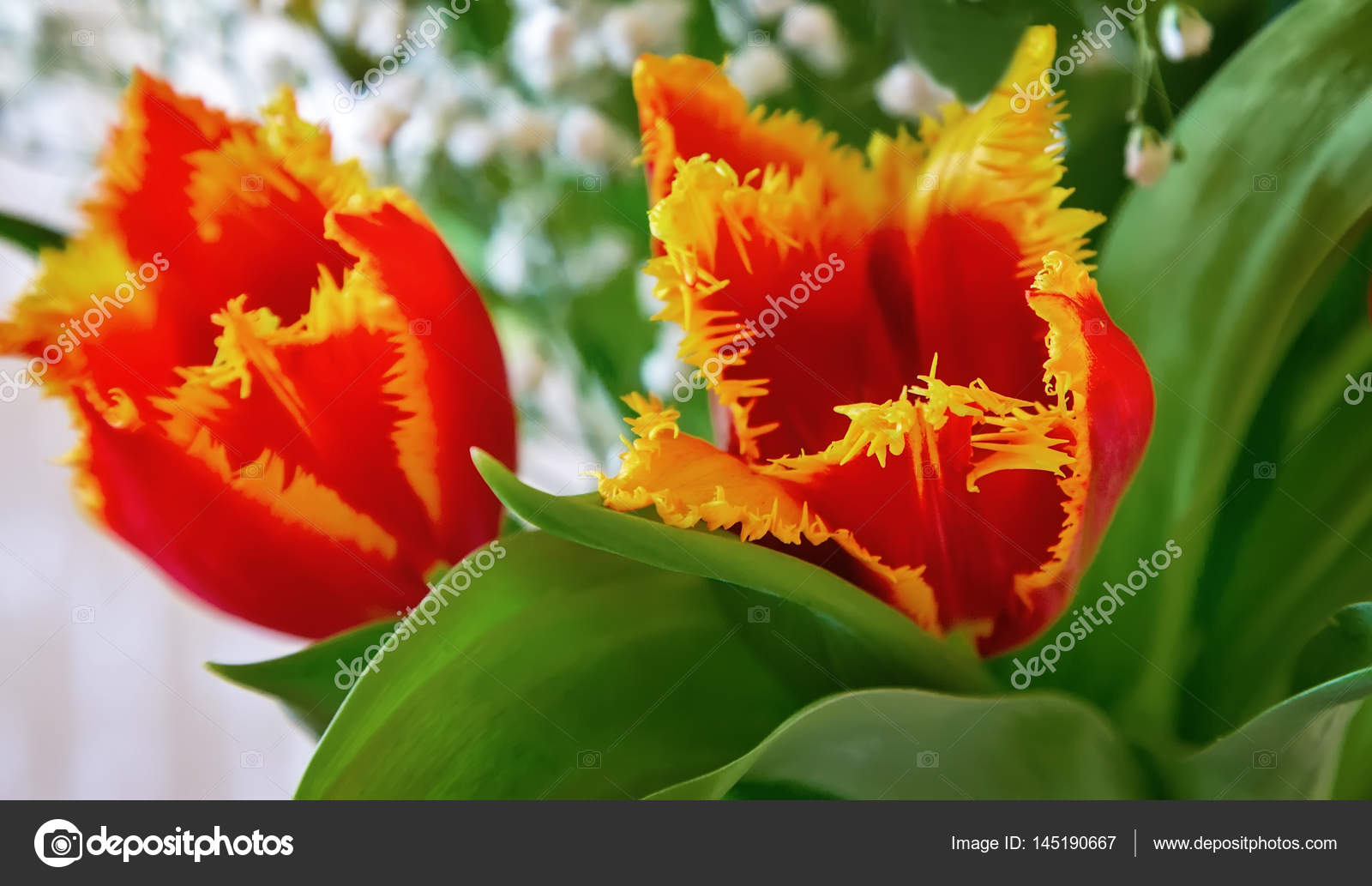 Two Red Tulip With Yellow Edging On The Flowers Stock Photo Image By Georgina198 145190667