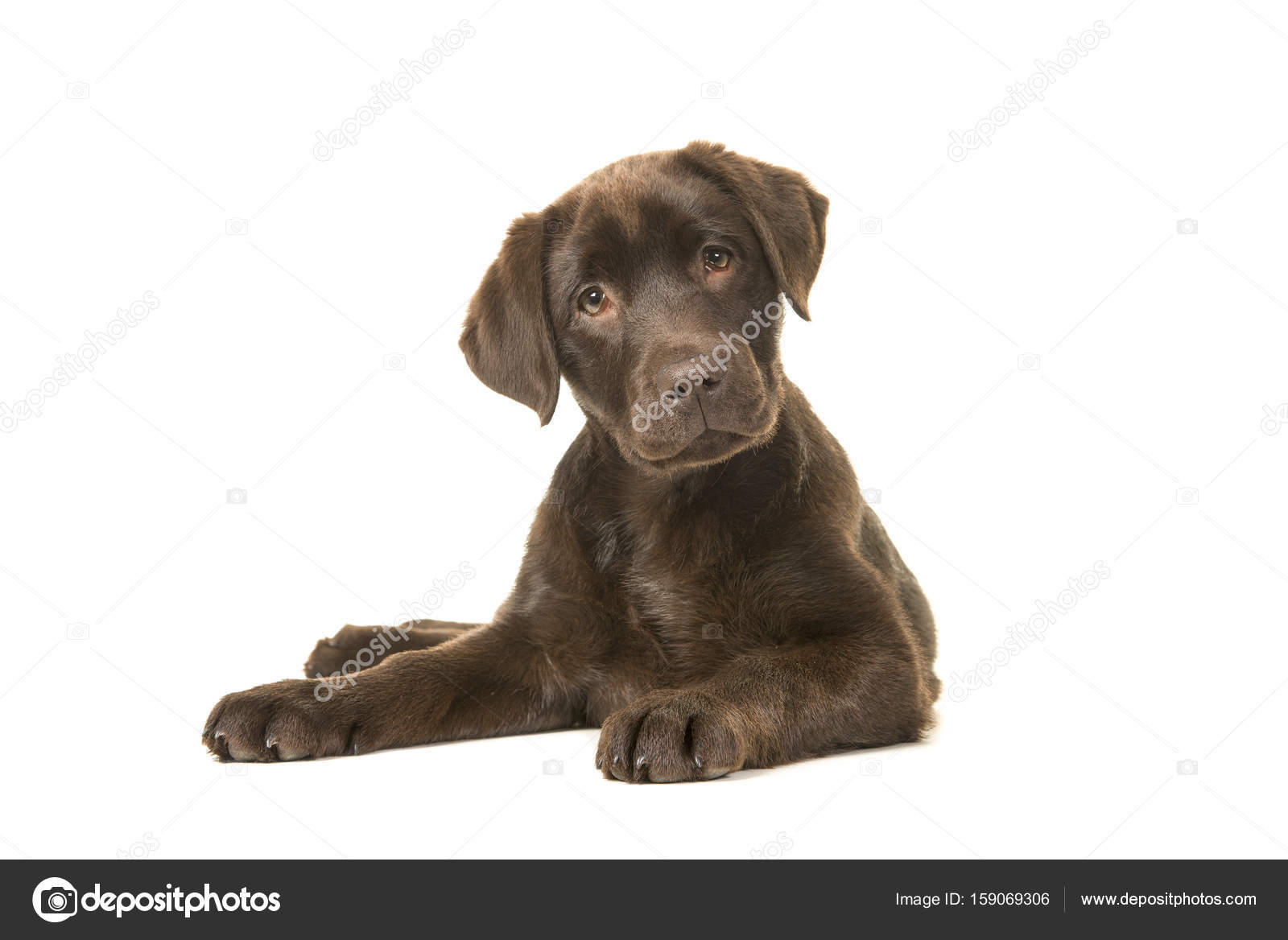 Labrador 4 Meses 4 Months Old Brown Labrador Retriever Puppy Lying Down Seen From