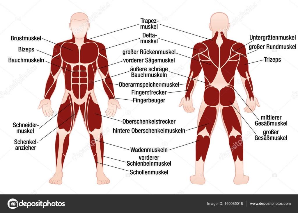 Muscles German Names Chart Muscular Male Body \u2014 Stock Vector