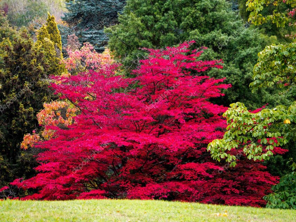 Japanischer Ahorn Wallpaper Japanese Maple Acer Palmatum In Autumn Colours Stock Photo