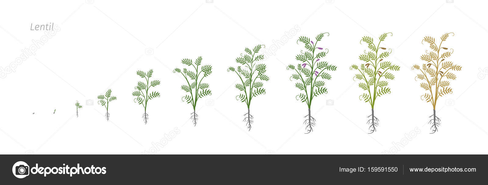 Lentil Soybean Lens culinaris Growth stages vector illustration