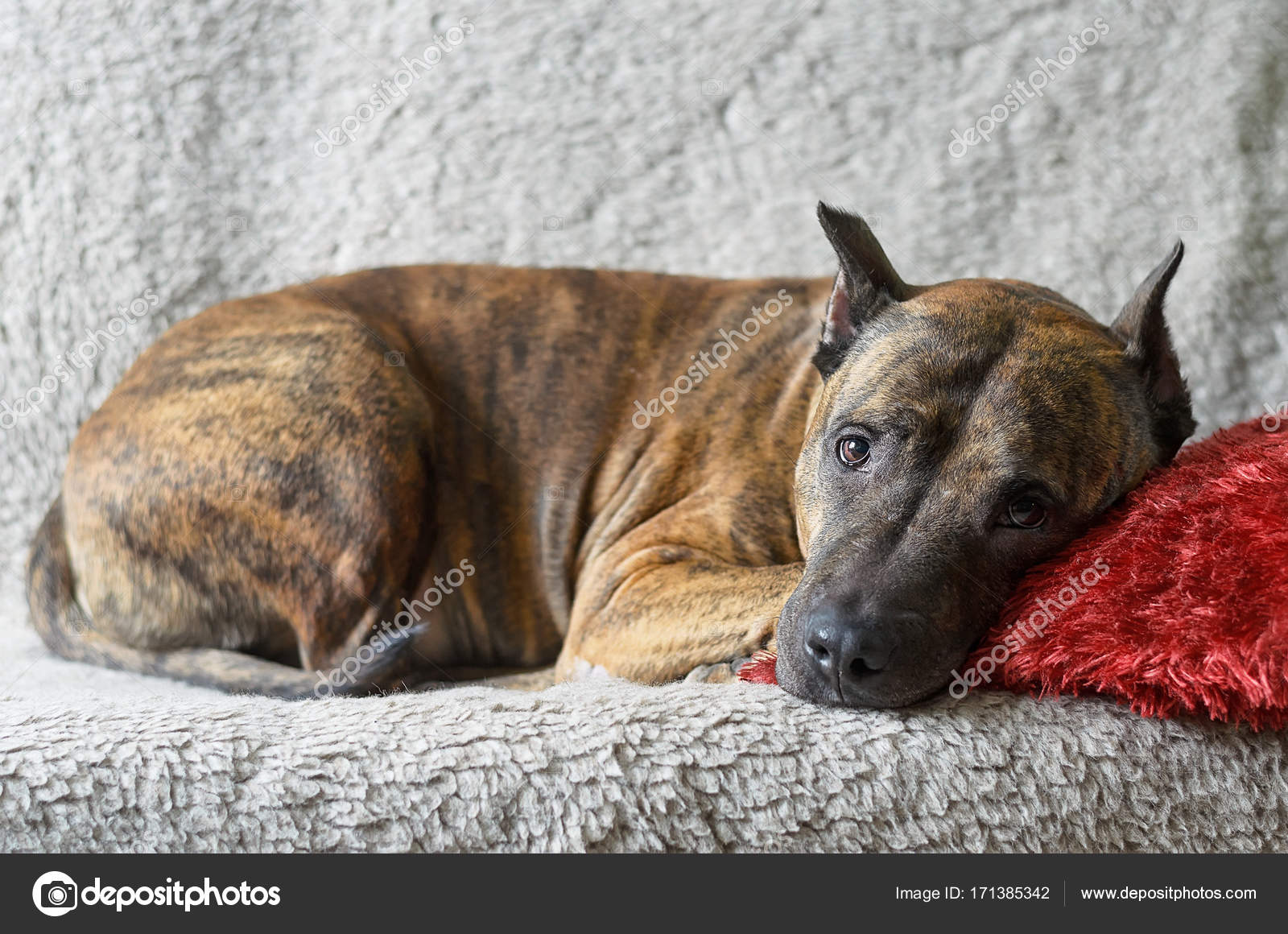 Big Sofa Fawn A Large Dog Lies On A Soft Beige Couch Stock Photo Tinkerfrost