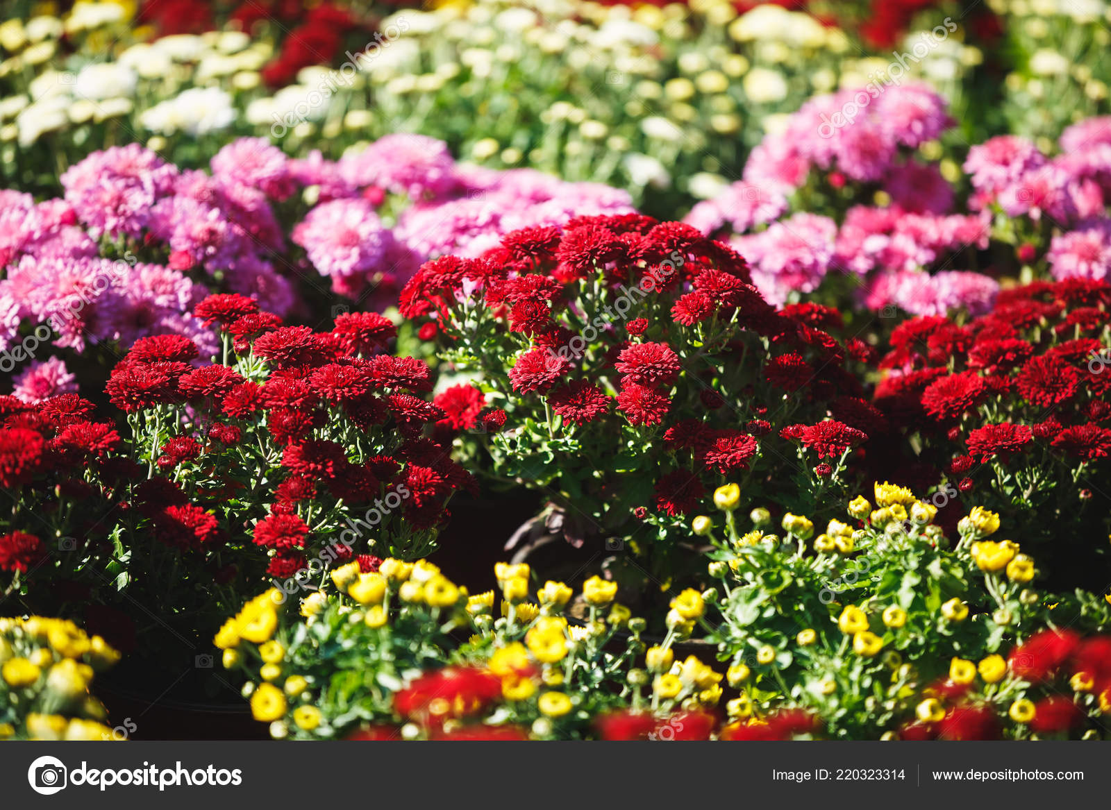 Chrysanthemum Indicum Winterhart Herbst Chrysanthemen Winterhart