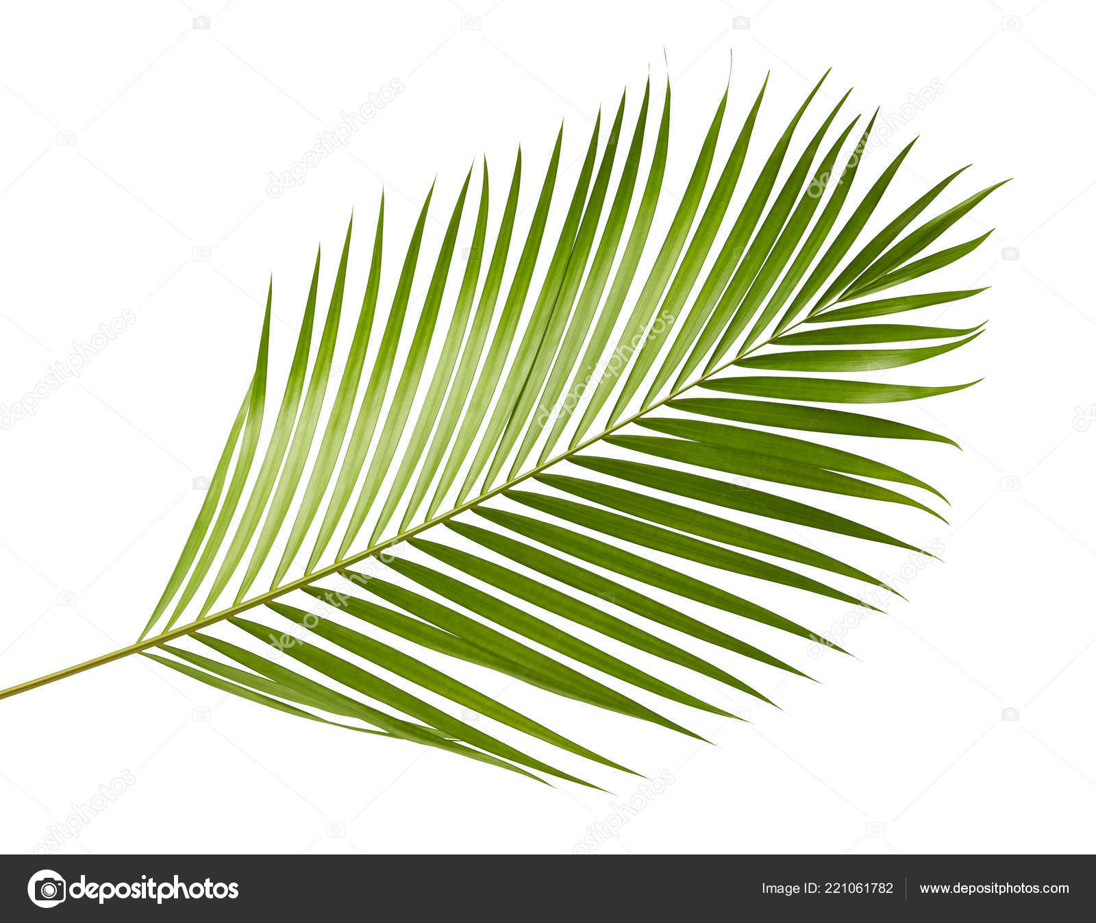Yellow Palm Leaves Dypsis Lutescens Golden Cane Palm Areca Palm ⬇ Stock Photo, Image by © Dewins #221061782