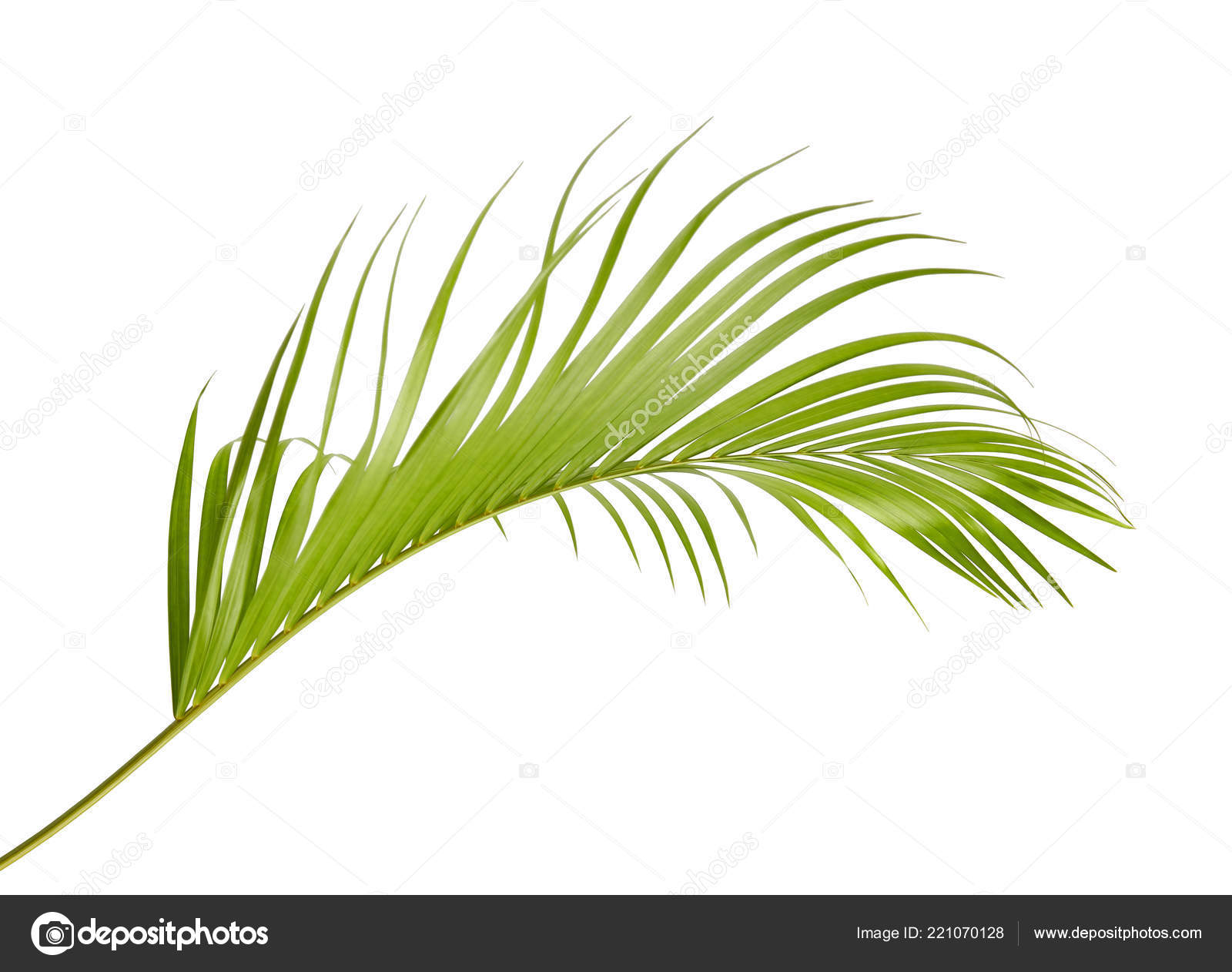 Yellow Palm Leaves Dypsis Lutescens Golden Cane Palm Areca Palm Stock Photo Image By Dewins 221070128