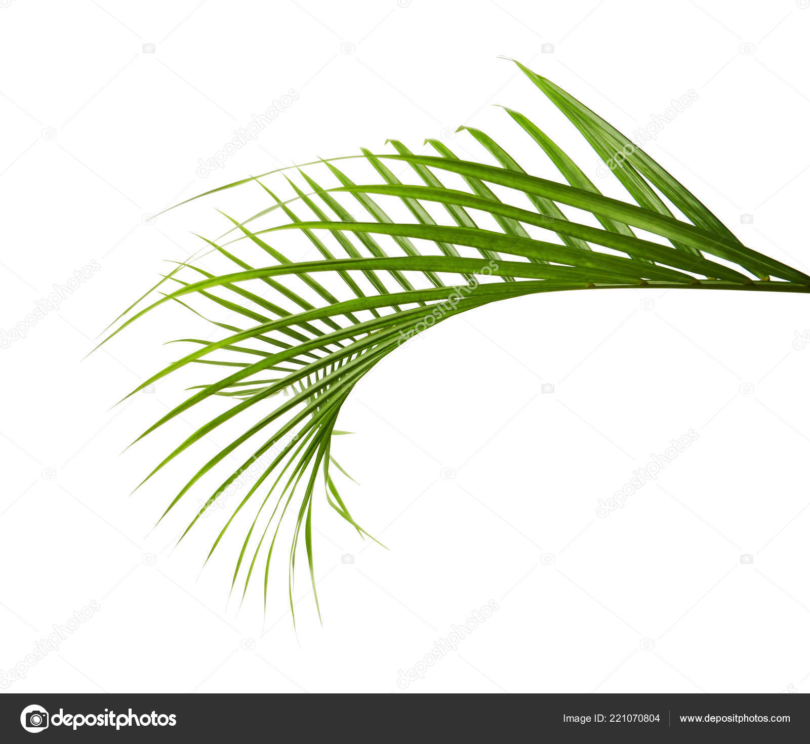 Yellow Palm Leaves Dypsis Lutescens Golden Cane Palm Areca Palm Stock Photo Image By Dewins 221070804