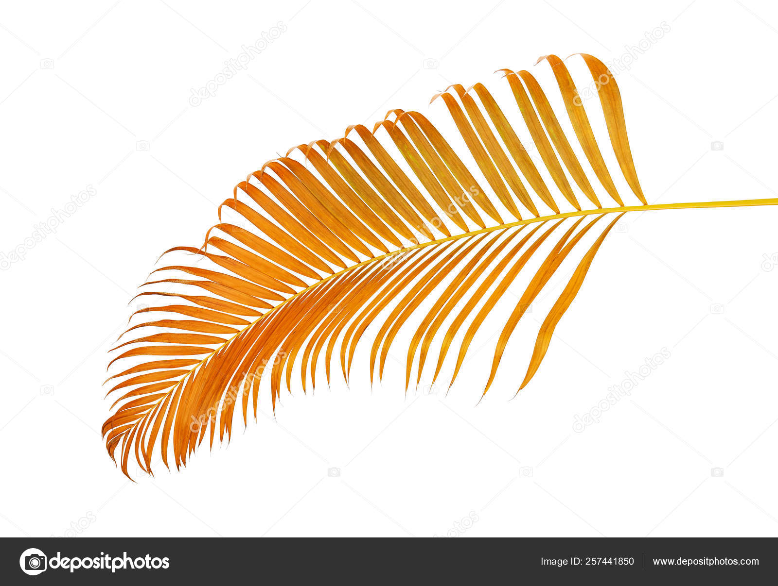 Yellow Palm Leaves Dypsis Lutescens Golden Cane Palm Areca Palm Stock Photo Image By Dewins 257441850