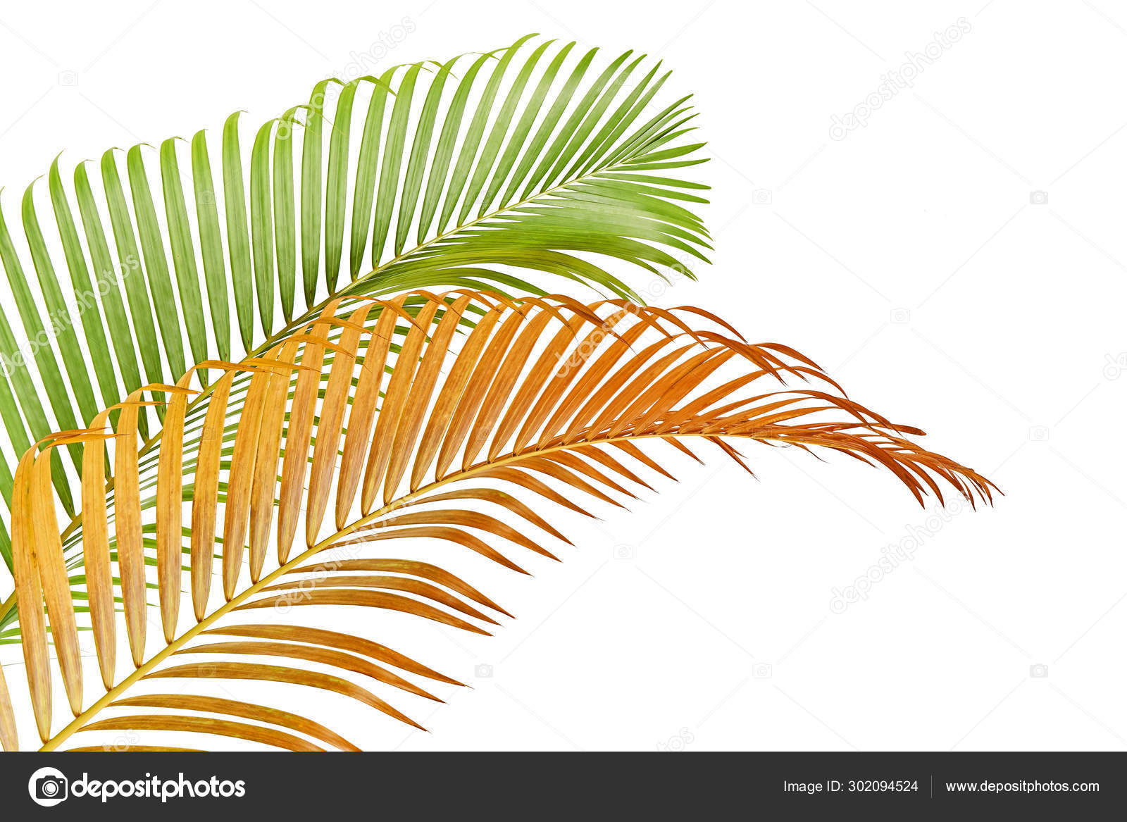 Yellow Palm Leaves Dypsis Lutescens Golden Cane Palm Areca Palm Stock Photo Image By Dewins 302094524