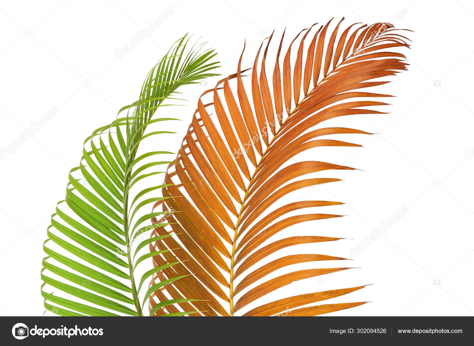 Yellow Palm Leaves Dypsis Lutescens Golden Cane Palm Areca Palm Stock Photo Image By Dewins 302094526