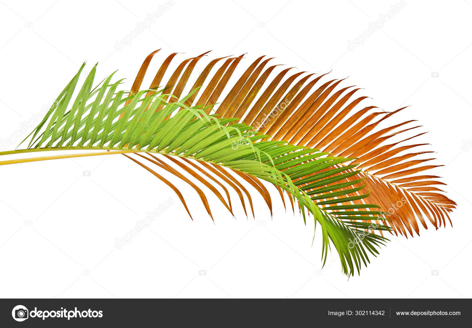 Yellow Palm Leaves Dypsis Lutescens Golden Cane Palm Areca Palm Stock Photo Image By Dewins 302114342