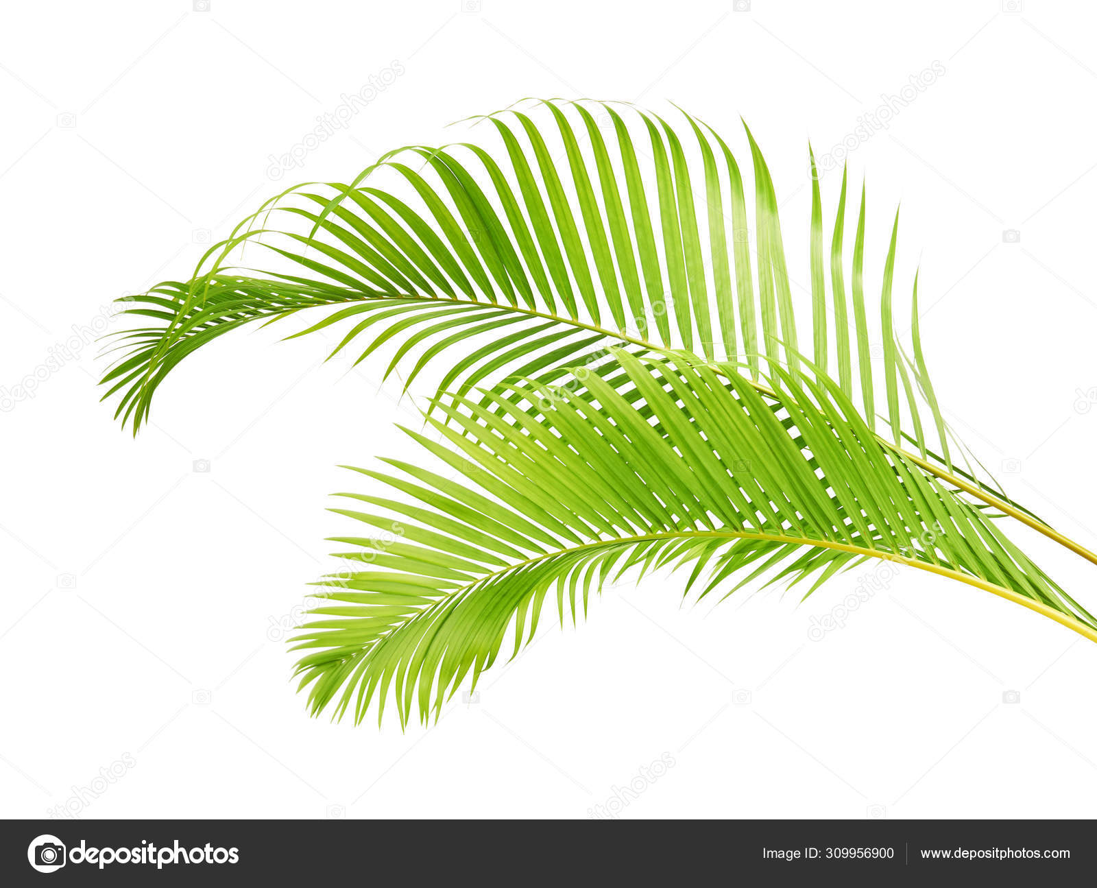 Yellow Palm Leaves Dypsis Lutescens Golden Cane Palm Areca Palm Stock Photo Image By Dewins 309956900
