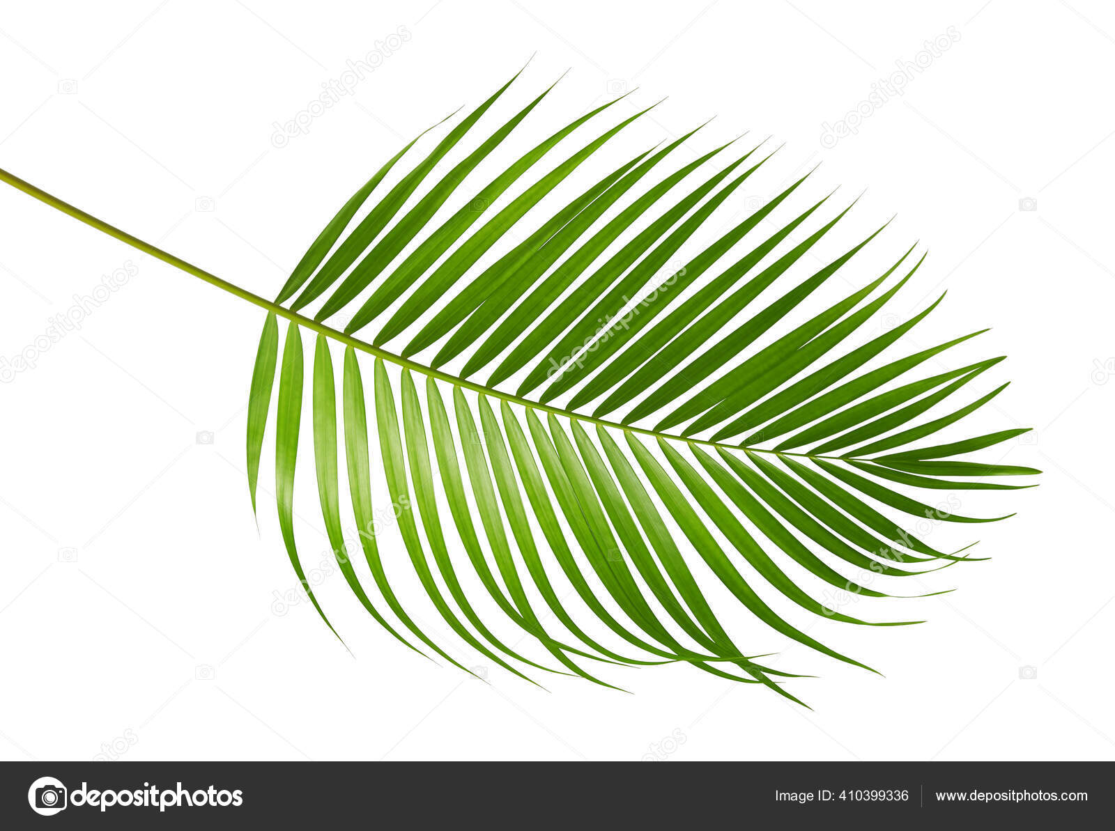 Yellow Palm Leaves Dypsis Lutescens Golden Cane Palm Areca Palm Stock Photo Image By Dewins 410399336