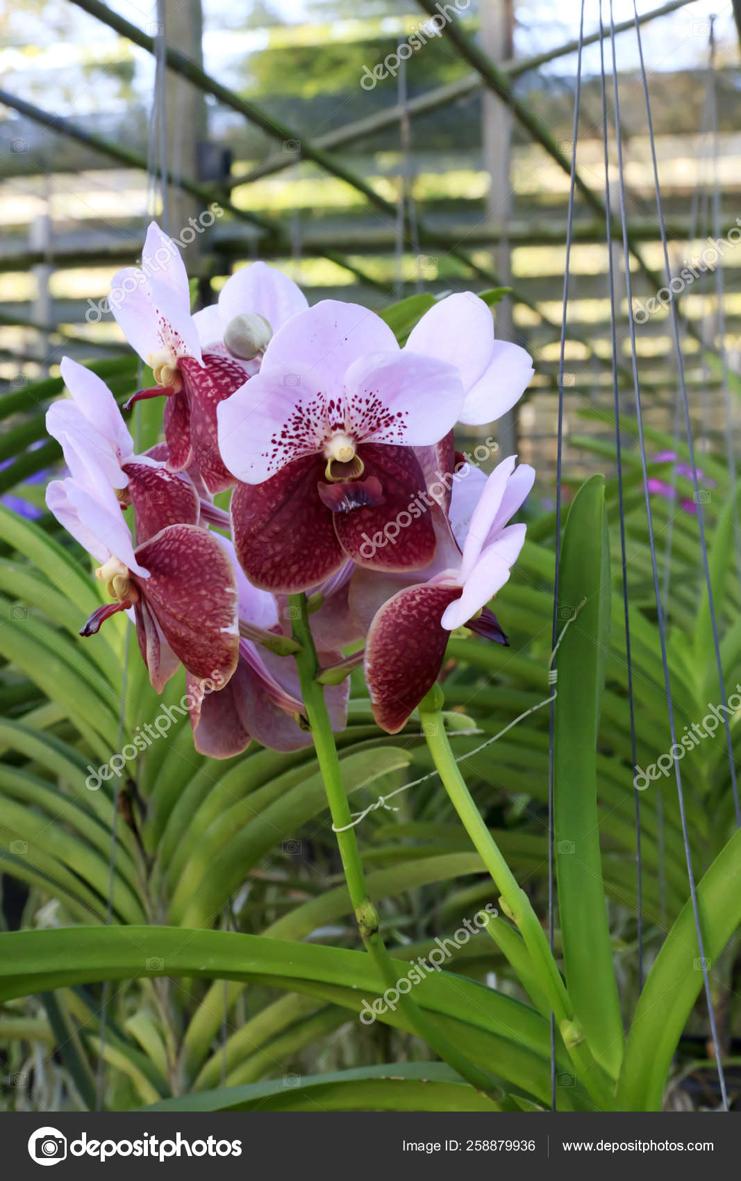 Orchid Species Vanda Crimson Color Stock Photo Image By Yayimages 258879936