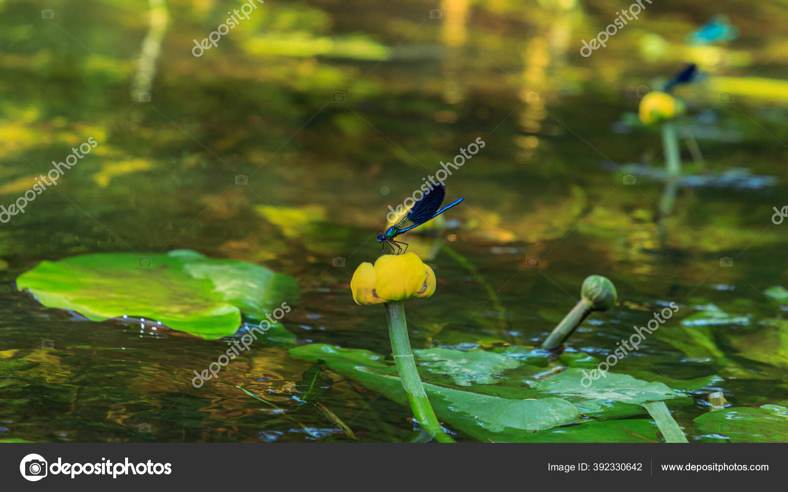 Blue Dragonflys Sitting Yellow Water Lilie River Flower Plants Water Stock Photo Image By Scudrinja 392330642