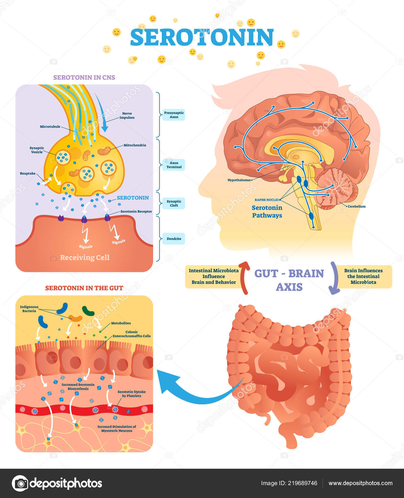 Tryptophan Serotonin Serotonin Vector Illustration Labeled Diagram With Gut