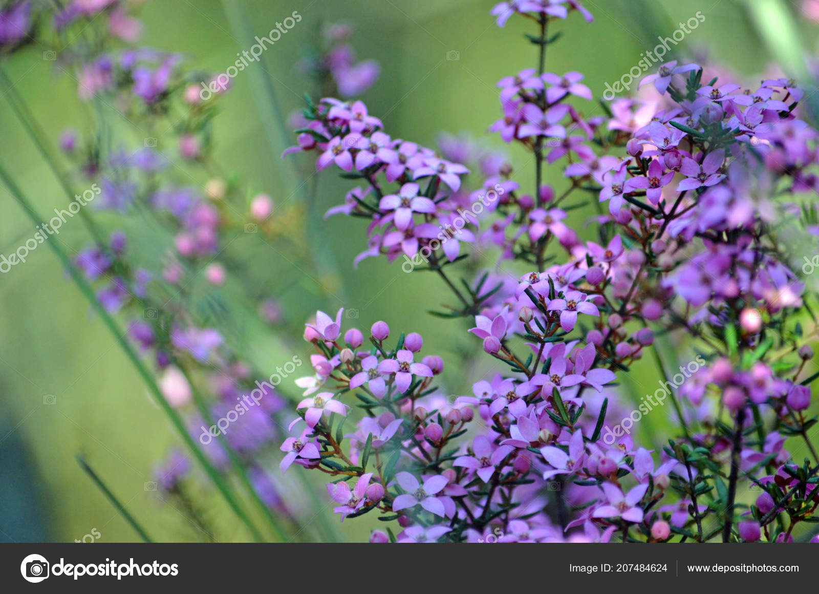 Pink Flowers Australia Pink Flowers Buds Australian Native Boronia Ledifolia Growing