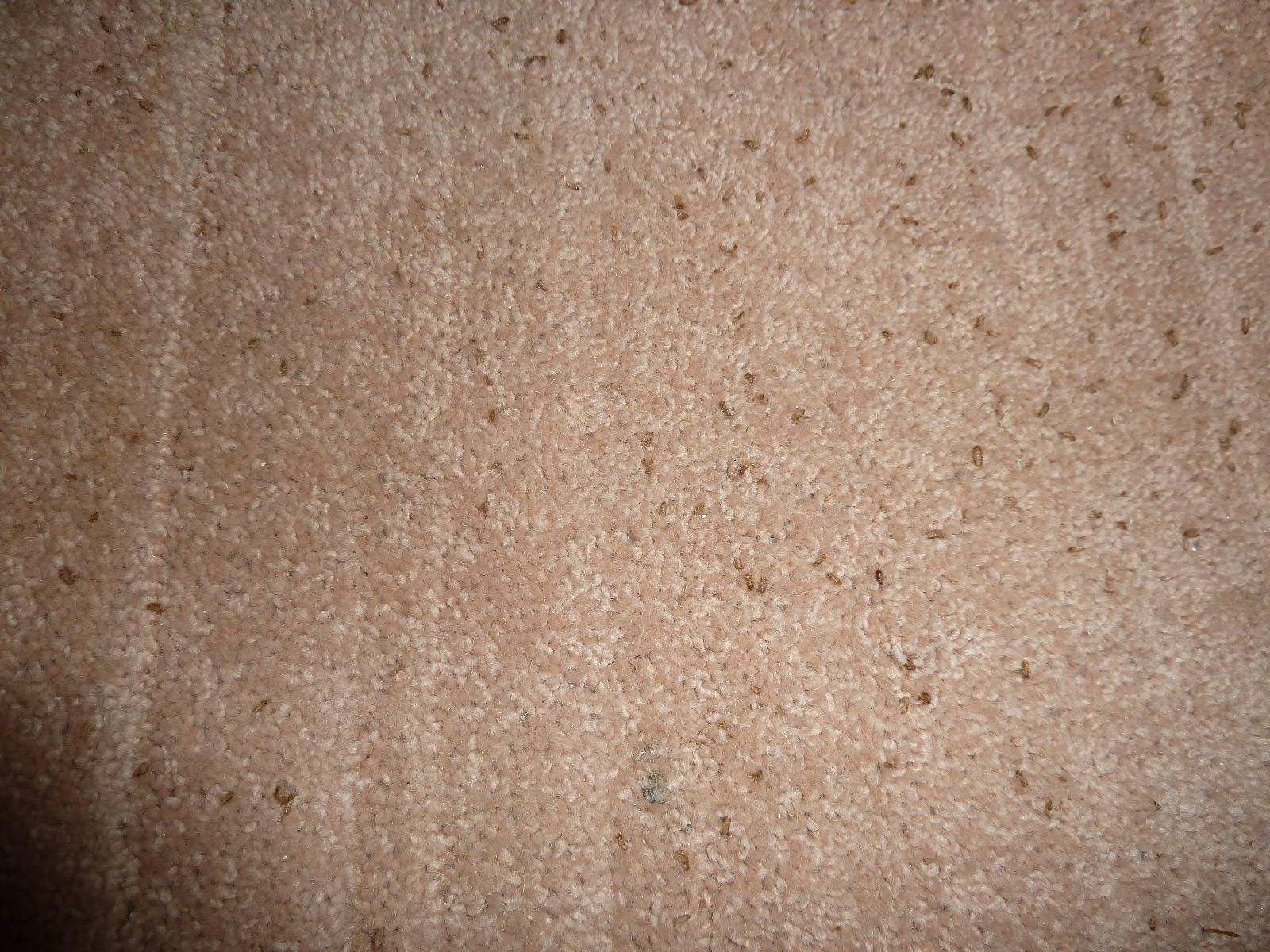 Carpet Beetles Damage Review Home Co