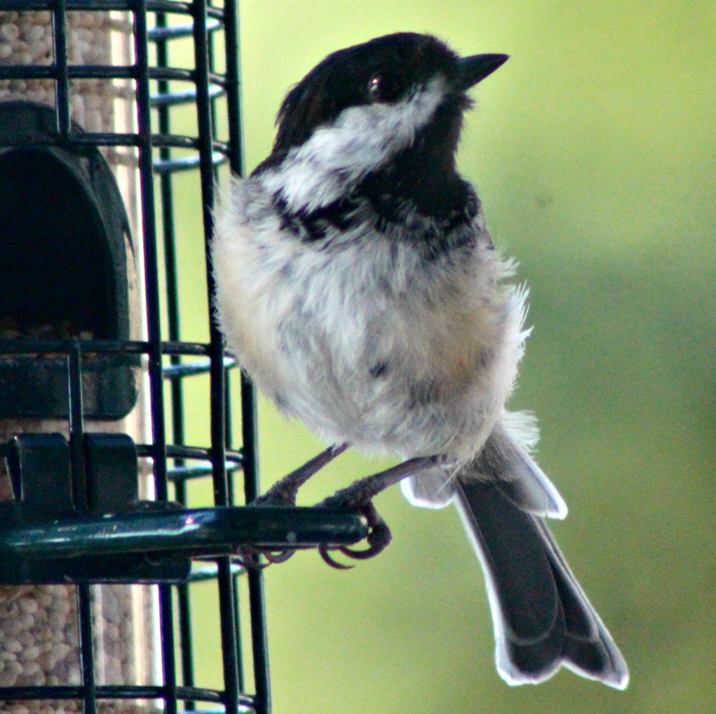 Then it was time for the chickadees