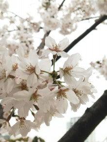 $家庭教師だるまの教務部ブログ-0329桜