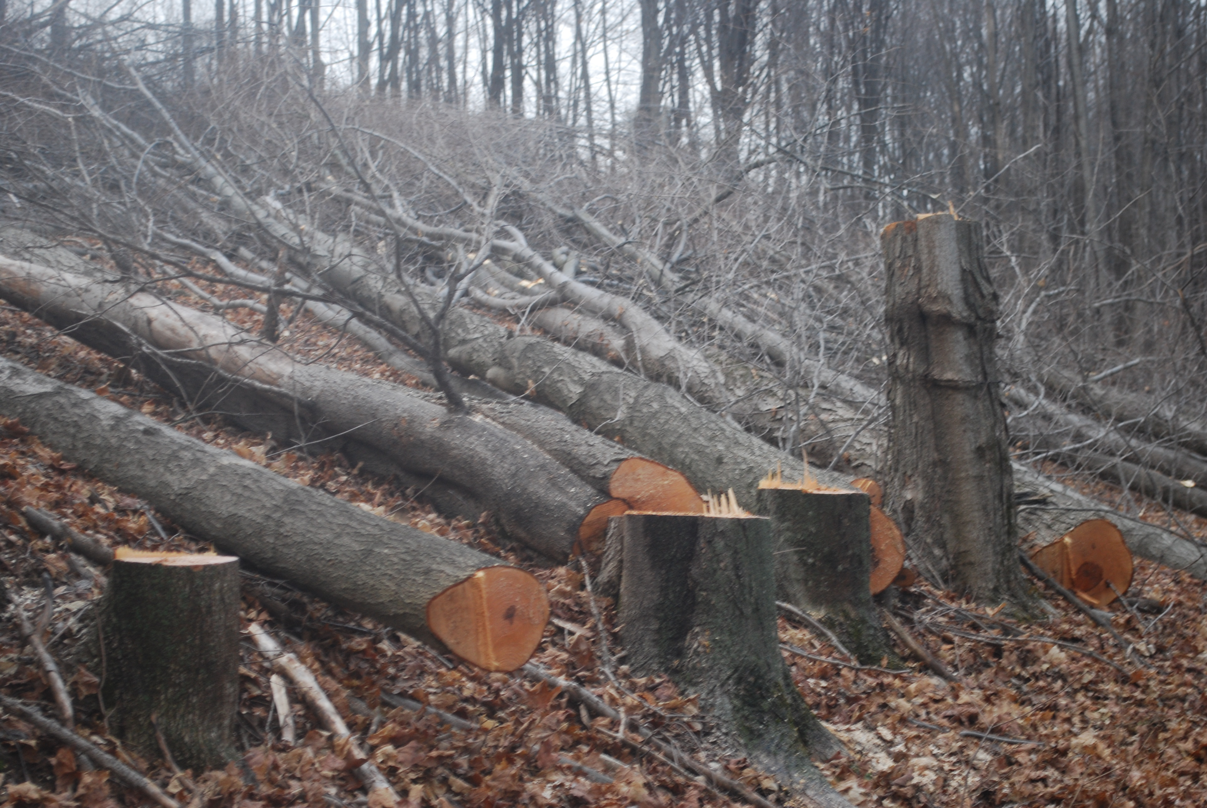 Ahornbaum Schneiden Maple Syrup Trees Cut To Make Way For The Constitution