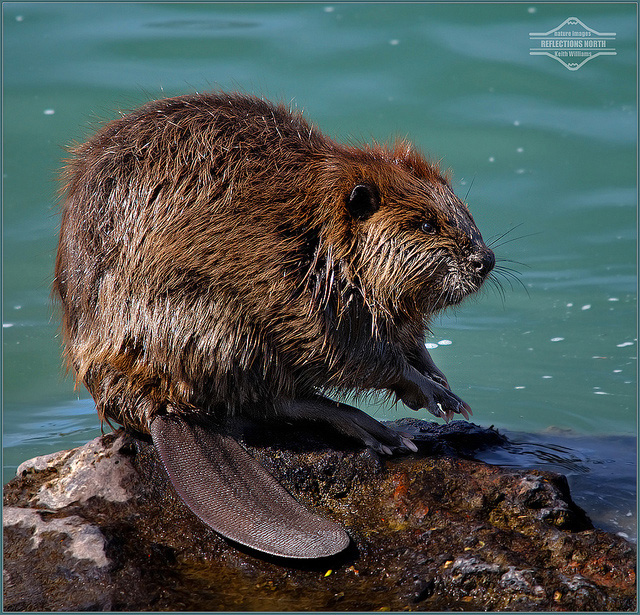 Cute Otter Wallpaper Oregon State Animal Beaver
