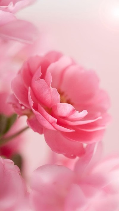 Pink Roses Live Wallpaper App Ranking and Store Data | App Annie