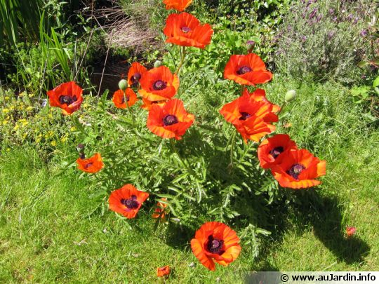 Photos Amenagement Terrasse Pavot, Papaver