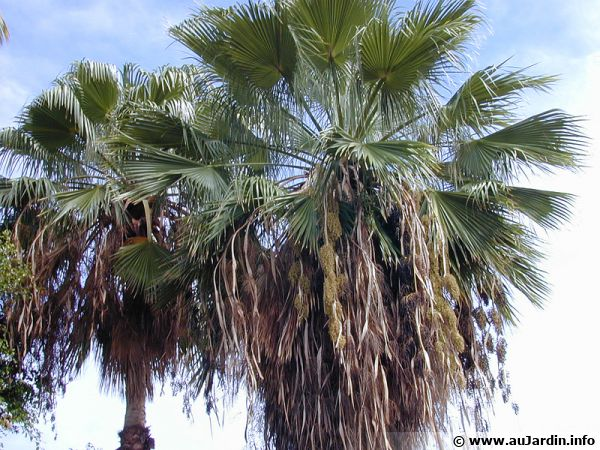 Fleur Du Mexique Palmier Du Mexique, Washingtonia Robusta : Planter, Cultiver