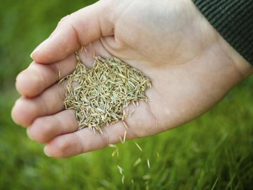 Medium Of St Augustine Grass Seed